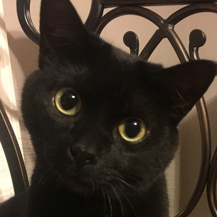 Ebony, an all black, domestic shorthair-black cat